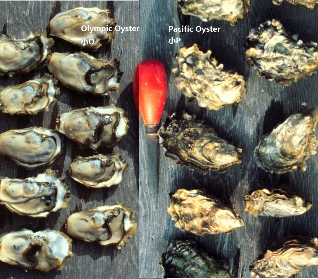OysterComparison