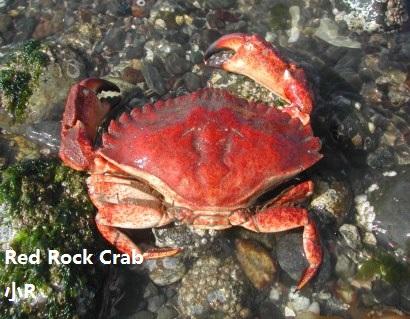 redrockcrab